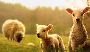 watch lambing on the farm